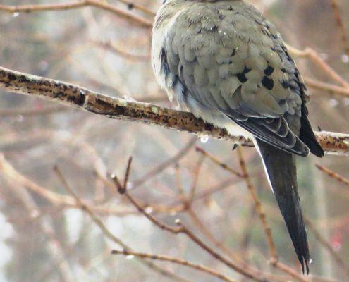 Rain Dove