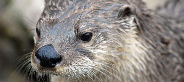 River Otter USFWS Chris Paul