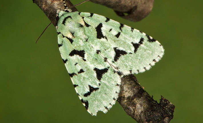 Acronicta fallax moth Fishers Island 2015