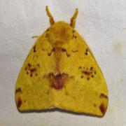 Automeris io moth