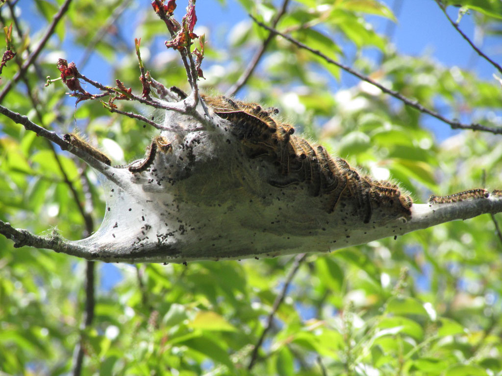 caterpillar nest