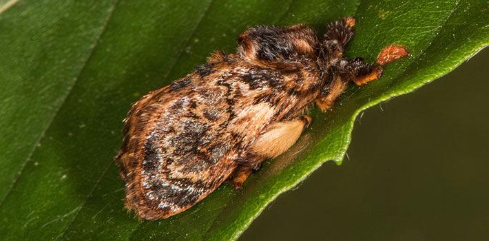 Hag moth