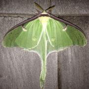 Luna moth, male