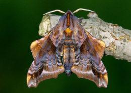 Paonias myops moth