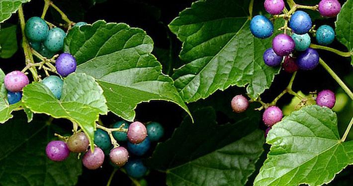 Porcelain berry