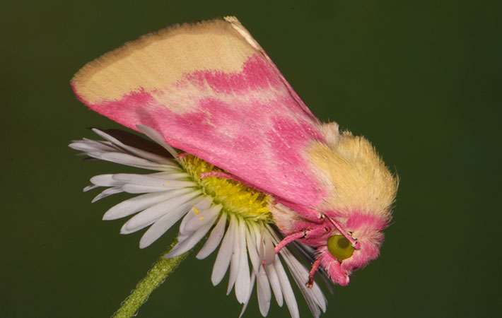 Schinia florida moth