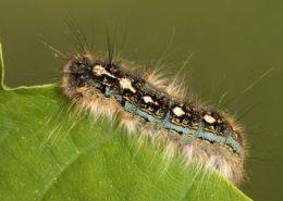 forest tent caterpillar