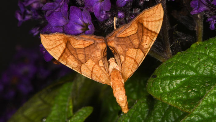 greater grapevine looper moth