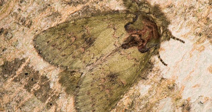 wavy line heterocampa moth