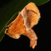 yellow shouldered slug moth