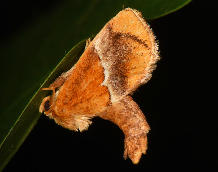yellow shouldered slug moth