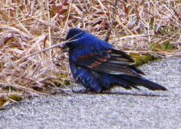 Blue Grosbeak by Justine Kibbe