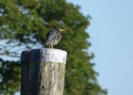 Hay Harbor's Local Green Heron