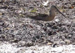 Short-billed Dowitcher's Brunch