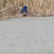Blue Grosbeak Stay