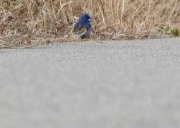 Blue Grosbeak Stay