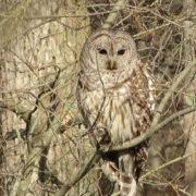 Barred owl 4-27-18 J Kibbe