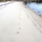 Coyote tracks along Dock Beach