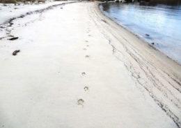 Coyote tracks along Dock Beach