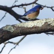 father bluebird