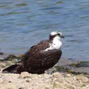 grounded osprey
