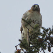 Juvenile Red-tailed hawk, Middle Farms