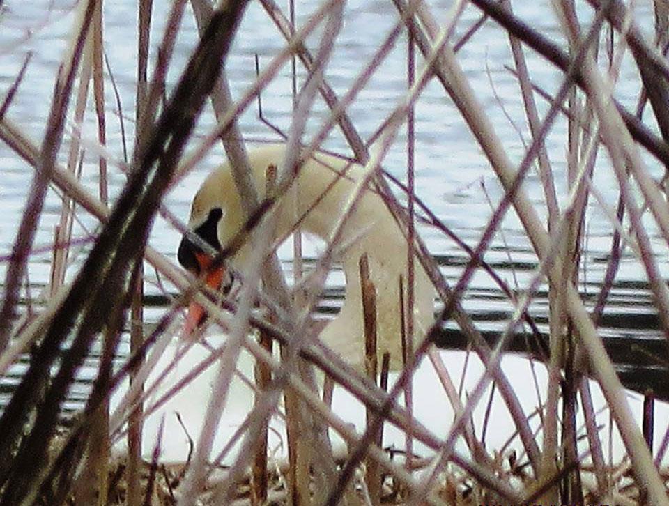Mute Swan nesting, Fishers Island