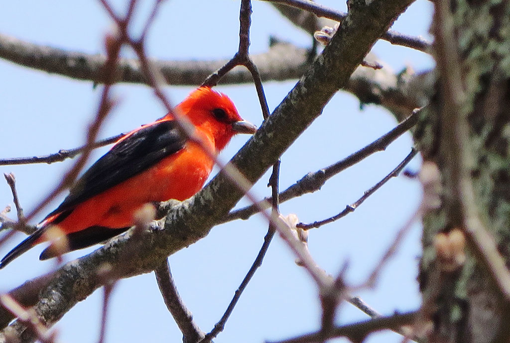 Adult Male Scarlet Tanager by Justine Kibbe