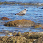 Black-bellied plover by Justine Kibbe