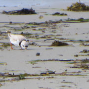 Piping Plover morning tidal wrack line