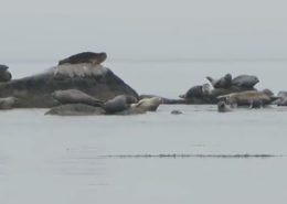 Hungry Point Harbor Seals