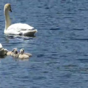 Proud Parents Mute Swans