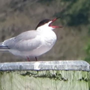 Common Tern courting ritual