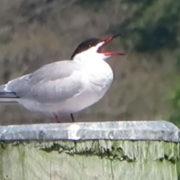 Common Tern courting ritual