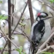 Downy Drummer woodpecker by Justine Kibbe