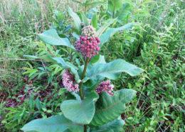 Monarch's Milkweed