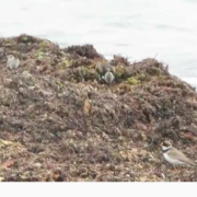 shorebirds plover