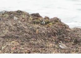 shorebirds plover