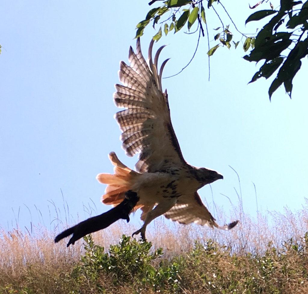 [Image: Hawk-with-mink-1.jpg]