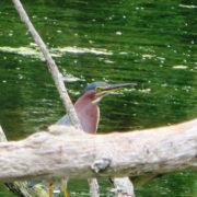 Duck Pond Green Heron - by Justine Kibbe
