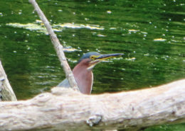 Duck Pond Green Heron - by Justine Kibbe