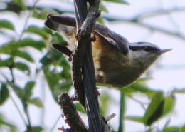 Red-breasted Nuthatch by Justine Kibbe