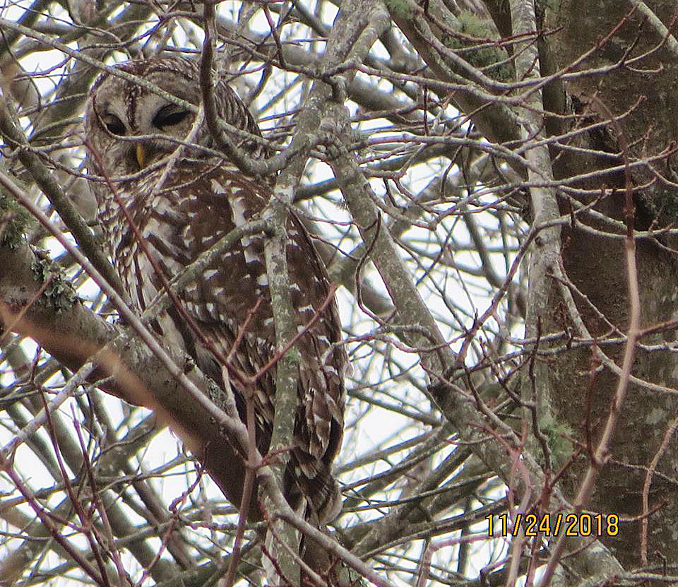 Barred Owl in Marshy Woods by Justine Kibbe