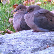 Two Doves Hunkering Down by Justine Kibbe