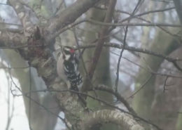 Downy Woodpecker forager by Justine Kibbe