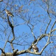 Red-tailed Hawk Pair by Justine Kibbe