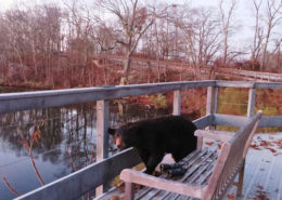 Bear at scenic overlook by Justine Kibbe