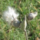 Milkweed fluff by Justine Kibbe