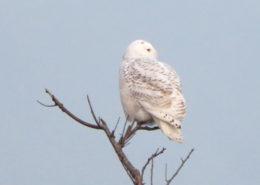 Snowy owl by Justine Kibbe