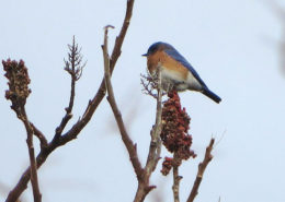 Eastern Bluebird by Justine Kibbe